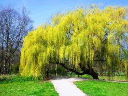 drzewo wierzba płacząca w parku